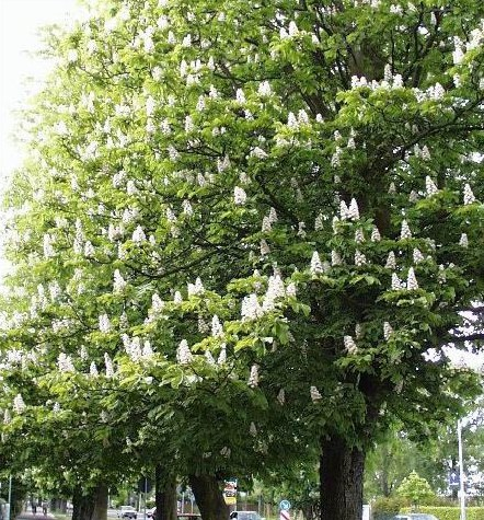 Bach flower info white chestnut zodiac mightylinksfo